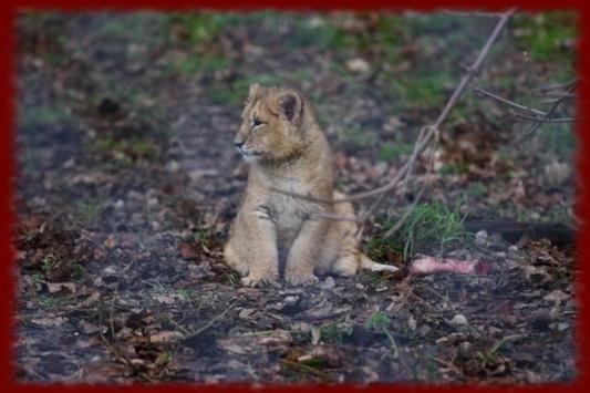 Baby Lion Cubs wallpapers poster