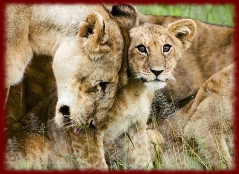 Baby Lion Cubs wallpapers screenshot 1