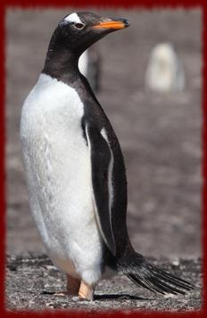 Gentoo Penguins wallpapers poster