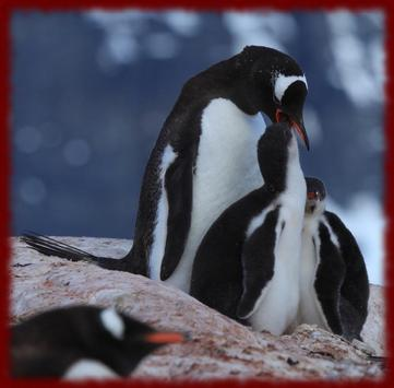 Gentoo Penguins wallpapers apk screenshot