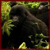 Gorillas wallpapers icon