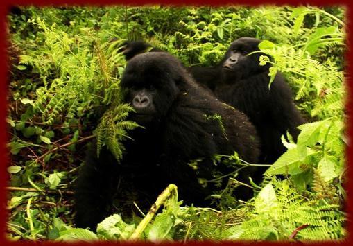 Gorillas wallpapers poster