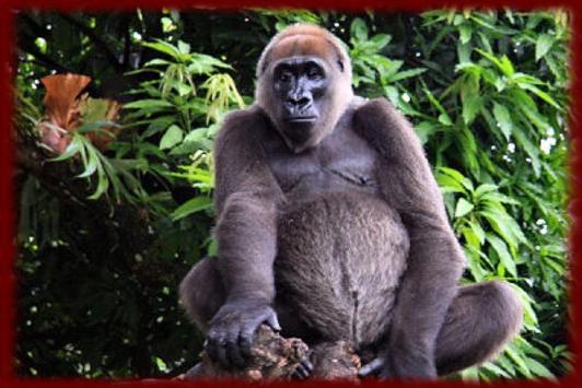 Gorillas wallpapers screenshot 2