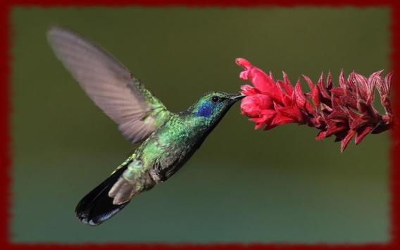 Hummingbirds wallpapers poster