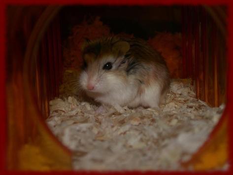 Hamsters wallpapers apk screenshot