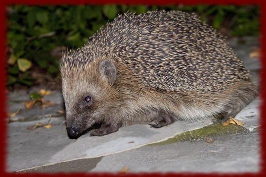 Hedgehogs wallpapers apk screenshot