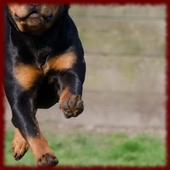 Rottweiler Dogs wallpapers icon
