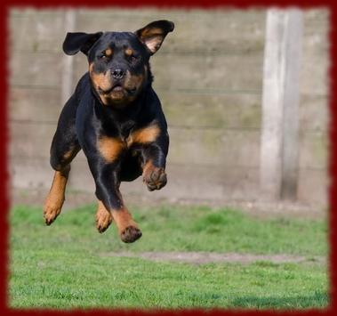 Rottweiler Dogs wallpapers poster
