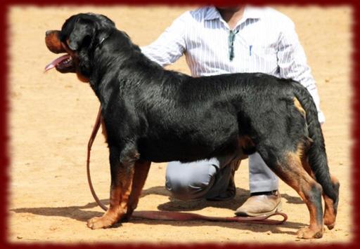 Rottweiler Dogs wallpapers apk screenshot
