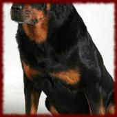 Rottweiler Puppy wallpapers icon
