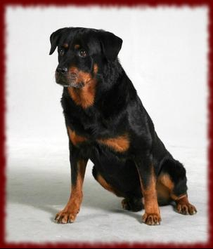 Rottweiler Puppy wallpapers poster