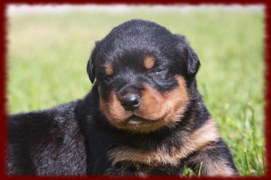 Rottweiler Puppy wallpapers screenshot 2