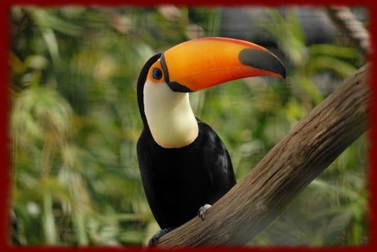 Toucans wallpapers poster