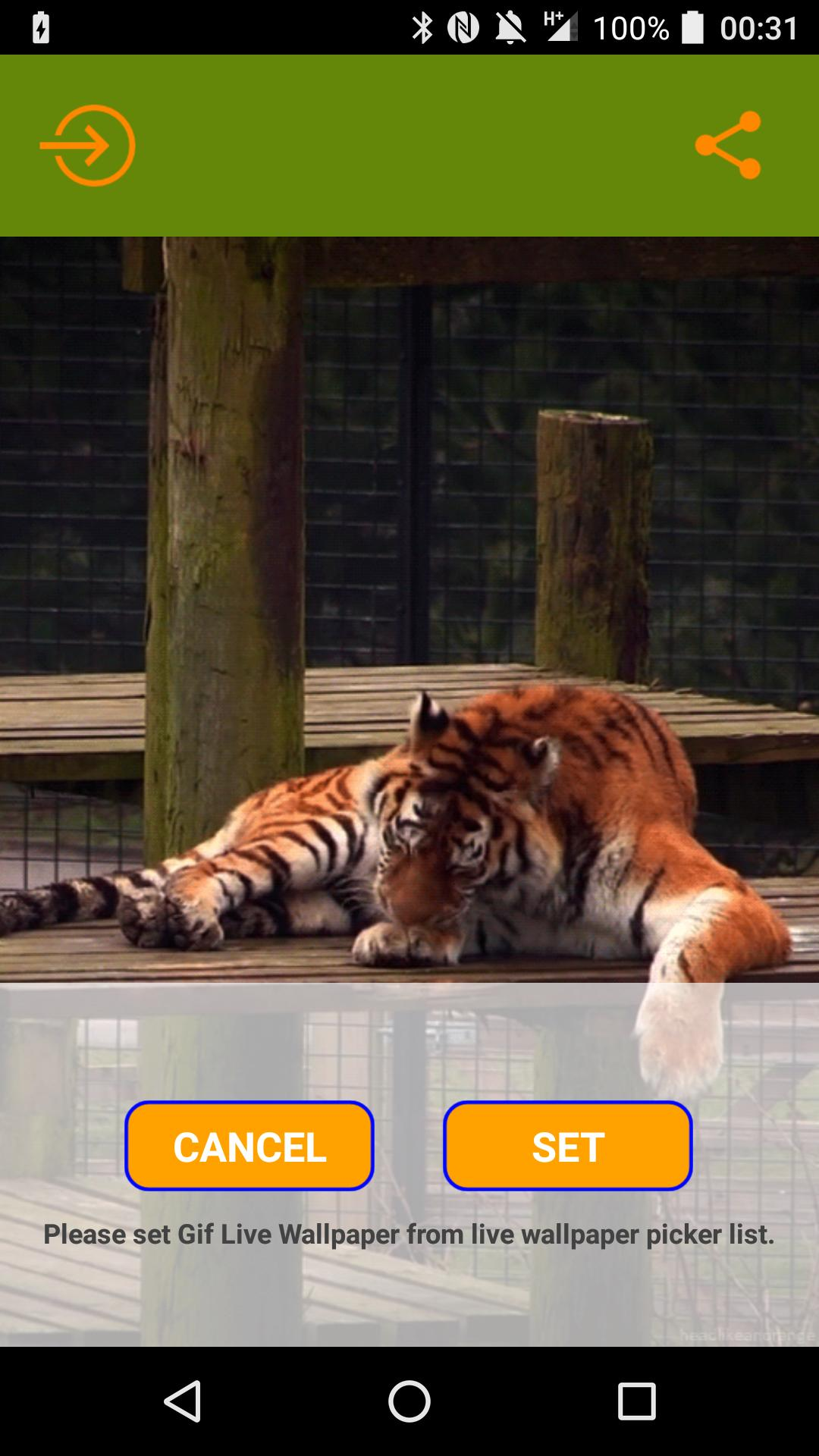 Lazy Tiger Live Wallpaper For Android Apk Download