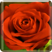 Blooming Roses LiveWP icon