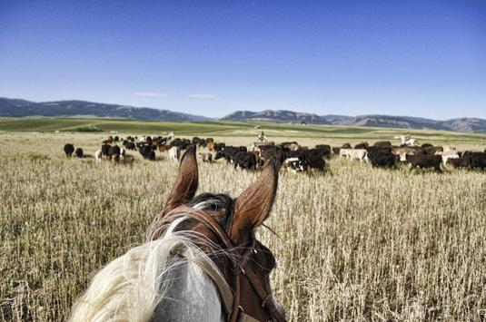 Cattle Drives Wallpapers poster