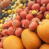 Pumpkin Farms Wallpapers icon