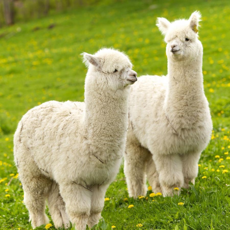 Alpaca Wallpapers V1 For Android Apk Download