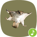 Appp.io - Flying Squirrel sounds
