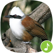 Appp.io - Laughing thrush sounds icon