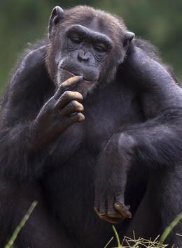 Appp.io - Chimpanzee sounds poster