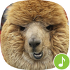 Appp.io - Alpaca Sounds icon