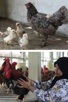 Cara Berternak Ayam Kampung poster