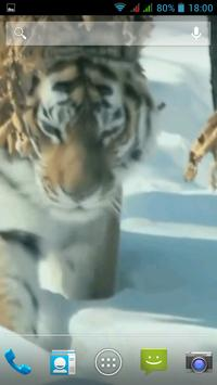 Amur Tiger Video Wallpaper apk screenshot