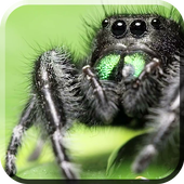 Jumping Spider LiveWP icon