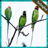Kumpulan Kicau Burung Untuk Memikat Terlengkap icon