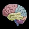 3D Brain 圖標