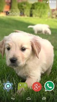 Cute Labrador Puppies poster