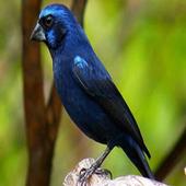 Canto Fêmea Azulão icon