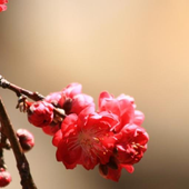 Peach Blossoms Wallpapers - HD icon