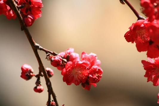 Peach Blossoms Wallpapers - HD poster