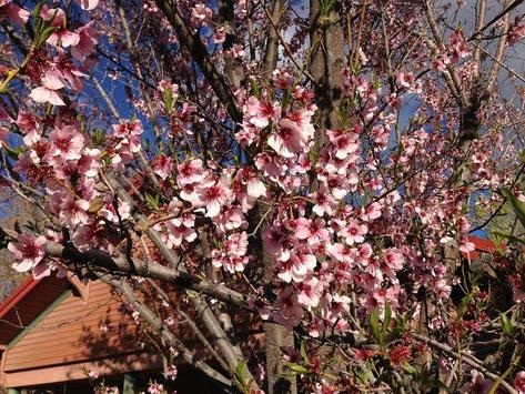 Peach Blossoms Wallpapers - HD apk screenshot