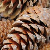 Pine Cones Wallpapers - HD icon