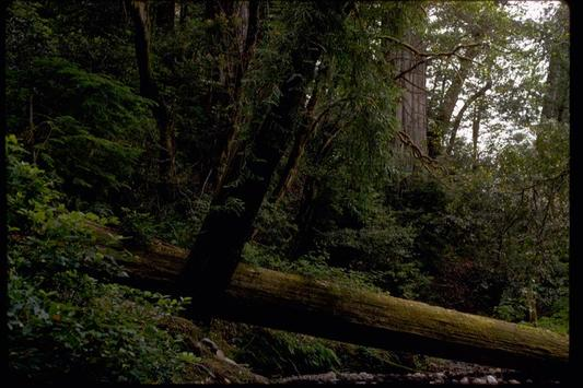 Redwood Groves Wallpapers - HD poster