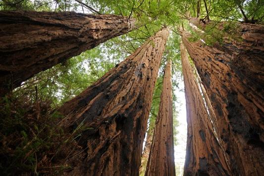 Redwood Groves Wallpapers - HD apk screenshot
