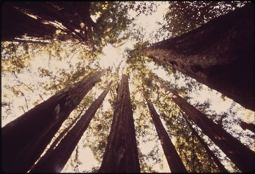 Redwood Groves Wallpapers - HD screenshot 2
