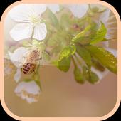 Flowering cherry LiveWallpaper icon