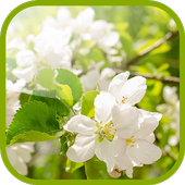 Flowering pear Live Wallpaper icon