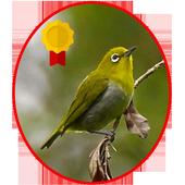 ikon Kicau Pleci Lengkap