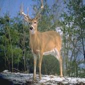 HD Deer Wallpapers icon