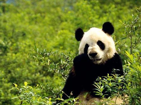 Cute Panda Wallpapers poster ...