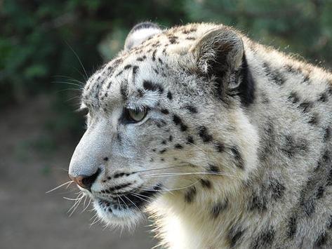 Leopard Wallpapers apk screenshot
