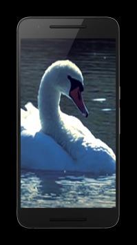 Swans Video Wallpaper apk screenshot