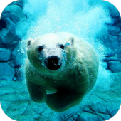 Polar Bear Swims Video LWP icon