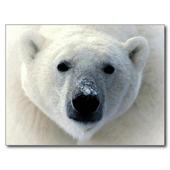 Polar Bear HD Wallpaper icon