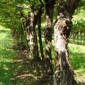 Pinot Grigio Vero icon